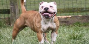 100 Most Popular Female Bulldog Names