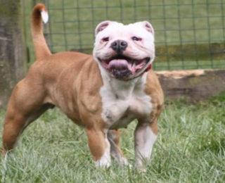 100 Most Por Female Bulldog Names