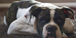 100 Most Popular Male Bulldog Names