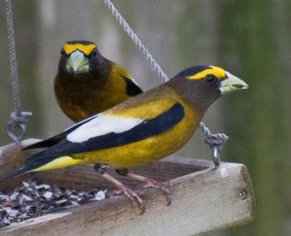 Male Bird Names