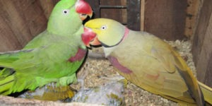 Male Parrot Names