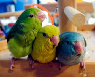 Types of Pet Birds