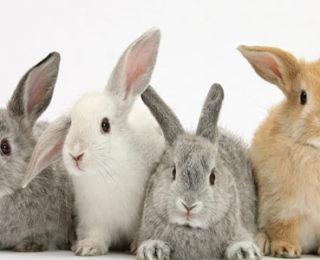 List of Rabbit Breeds