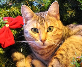 if you love christmas and have a new cat or if your are just looking for some cute unique and cool christmas cat names you are in the right place - Christmas Names For Cats