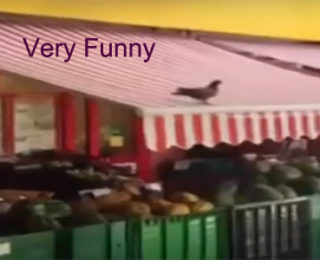 Pigeons Like To Play As Well