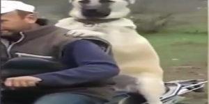 Motorcycle Buff Dog