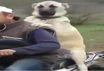 Motorcycle Buff Dog