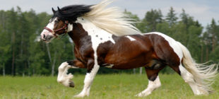 What Are The Most Beautiful Horse Breeds İn The World?