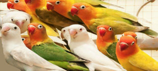 Lovebirds For Hobbyist