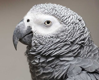 All About African Grey Parrot