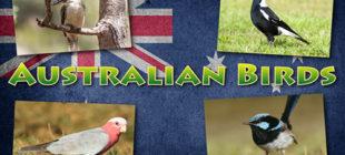 Australian Birds In Brief