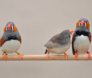beautiful-color-of-zebra-finches