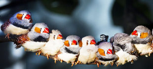 Beautiful Color of Zebra Finches