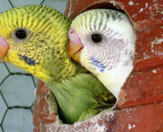 Breeding Budgies