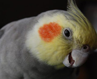 Bring and Teaching Your Cockatiel