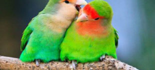 Caring For Lovebirds