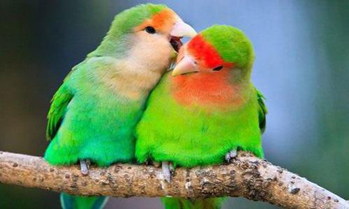 Caring For Lovebirds