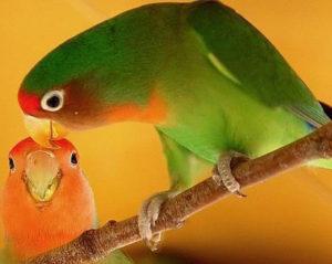 caring-for-lovebirds