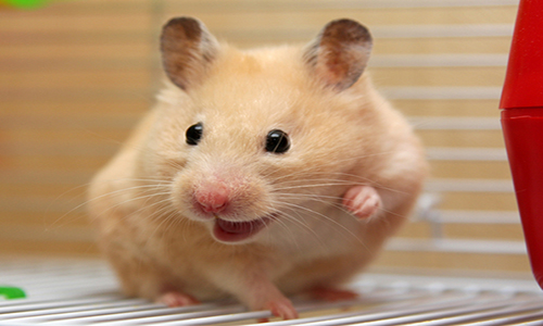 The Life Expectancy of Hamsters