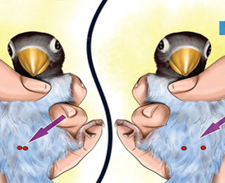 How To Determine Lovebirds Gender