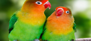 How To Make Lovebirds Singing