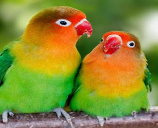 How To Make Lovebirds Singing