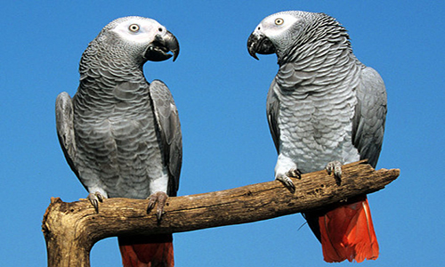 How to Train Talking Parrots