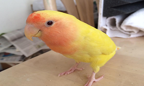 How To Treat Lovebird Molting