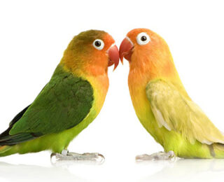 Information You Should Know about Lovebirds Breeding