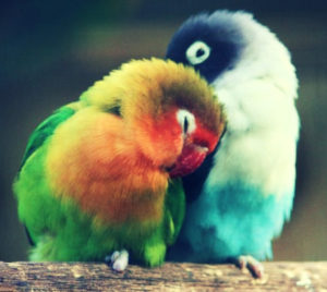 learn-how-to-breed-lovebirds