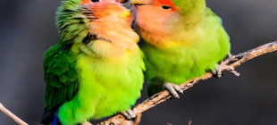 Learn How To Breed Lovebirds