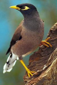 lovable-and-active-mynah-bird