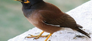 Lovable and Active Mynah Bird