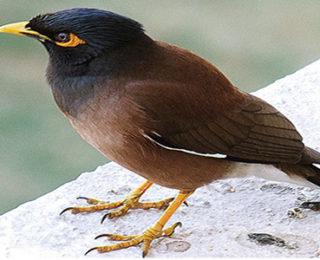 Lovable and Active Mynah Bird