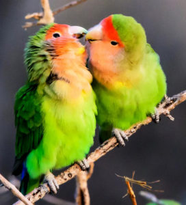 lovebird-health-problems-you-should-know