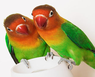 Lovebird Health Problems You Should Know