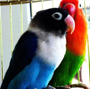 Lovebirds For Hobbyist
