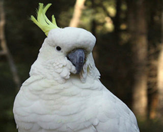 Tips on How to Take Care of Your Moluccan Cockatoo