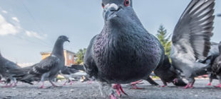 Pigeon Names