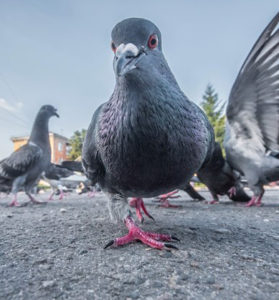 pigeon-names