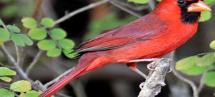 The Attractive Cardinal Bird