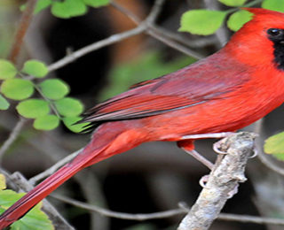 The Attractive Cardinal Bird