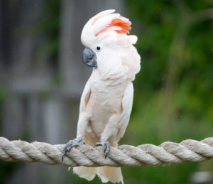 tips-on-how-to-take-care-of-your-moluccan-cockatoo
