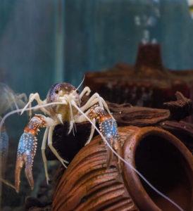 feeding-crab-in-aquarium
