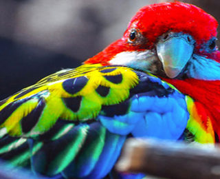 The Colorful Scarlet Macaw