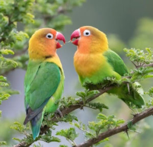 the-main-food-for-lovebirds