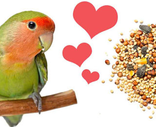 The Main Food for Lovebirds