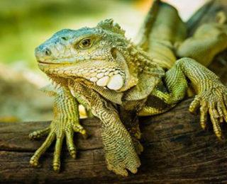 Female Iguana Names