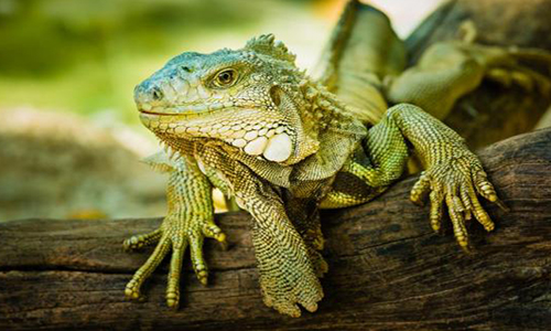 Female Iguana Names