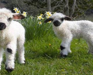 Female Sheep Names